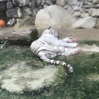 0908white-tiger.JPG