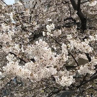 cherry-blossom-0406-1.jpg