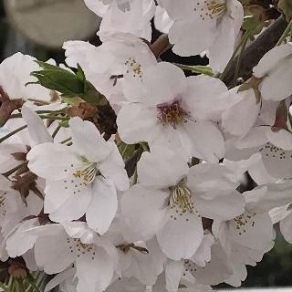 cherry-blossom-0410-0.JPG
