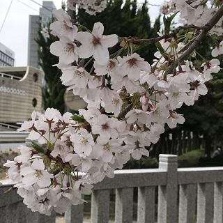 cherry-blossom-0410-2.JPG